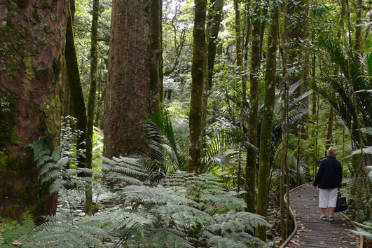 Kauri-Forest-Bay-Of-Island-Tours-H36-531-photo-credit-NorthlandNZ-com